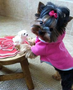 Cutest Yorkie