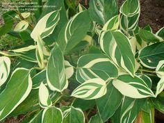 ? Greenhouse or house plant. Arrowroot, Obedience Plant 'Variegata' (Maranta arundinacea).