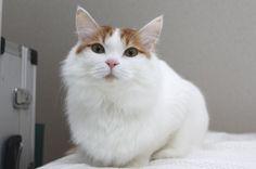 モデル気分だニャ♪/猫 ネコ cats  (Nestle PURINA ネスレ日本)