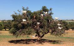 The Tree Goats of Morocco – Tamri, Morocco   Atlas Obscura