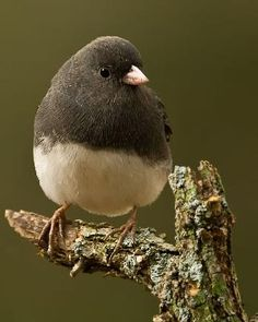Dark-eyed Junco Identification, All About Birds, Cornell Lab of Ornithology Pretty Birds, Love Birds, Beautiful Birds, Birds 2, Beautiful Pictures, Small Birds, Little Birds, Dark Wings, Kinds Of Birds