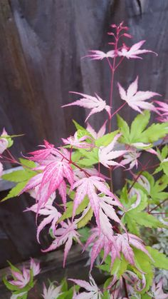 Japanese maple 'Oridono Nishiki'