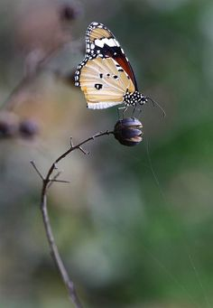 ~~Tiger Butterfly by Harish Tyagi~~