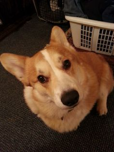 I can't to laundry. I'm a dog. -Sir Yorick #corgi