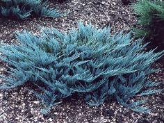 Blue Star Juniper - 10 Best Small Evergreen Shrubs: Flowering and Foliage - EnkiVillage