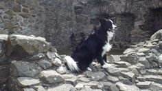 Asha the border collie as the ruins of Sketrick Castle in Comber Northern Ireland