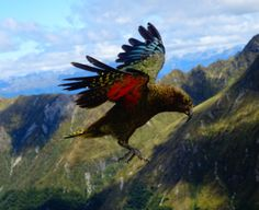 The Kea, New Zealand's cheeky mountain parrot