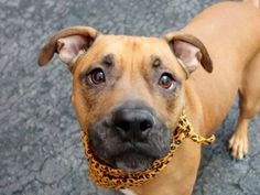SAFE 1/5/15!  Was TO BE DESTROYED - 01/04/15 Manhattan Center - P. My name is TYSON. My Animal ID # is A1023281. I am a neutered male brown pit bull mix. The shelter thinks I am about 2 YEARS old. For more information on adopting from the NYC AC&C, or to  find a rescue to assist, please read the following: http://urgentpetsondeathrow.org/must-read/