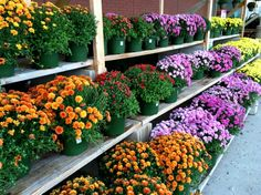 Guide to Buying Fall Mums