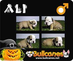 ALI - Miniature English Bulldog For Sale  BULLCANES - Bulldog Breeders  http://www.bullcanes.net