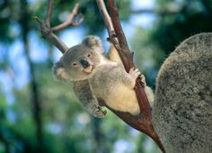 Lounging Baby Koala Bear