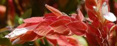 Camarão-vermelho (Justicia brandegeana) - Quem olha uma touceira de camarão logo entende por que a planta ganhou esse nome popular, mas, na verdade, suas flores são... brancas! É que, na verdade, o que consideramos flores são as folhas avermelhadas que surgem na ponta dos galhos, estruturas em forma de espiga que se sobrepõem como esca... - http://www.combustivelverde.com/ecoblog/2014/11/13/camarao-vermelho-justicia-brandegeana/