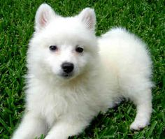 Miniature American Eskimo - The American Eskimo is an affectionate, loving dog. Hardy and playful, they are excellent with children. Charming and alert. Because of the dog's high intelligence and its willingness to please, it is easy to train
