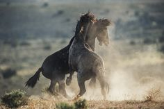 Beautiful picture of two horses playing with eachother #horses#horse#horselovers#horselove#lovinghorses#beautifulhorsepictures#horseriding#stunninghorses#beautifulhorses#loveforhorses#stallions#polopony#pony#whitehorses#equestrian#marwarihorse#marwari#thoroughbred#ponies#horsepictures#horsephotography#horsebackriding#LAPOLO Beautiful Horse Pictures, Beautiful Horses, Polo Horse, Two Horses, Pebble Beach Concours, Horse Training, Horse Breeds, Horse Photography, Thoroughbred