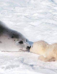 Cute!!! Cute Baby Animals, Animals And Pets, Funny Animals, Cute Seals, Harp Seal, Seal Pup, Sea Creatures, Spirit Animal, Pet Birds