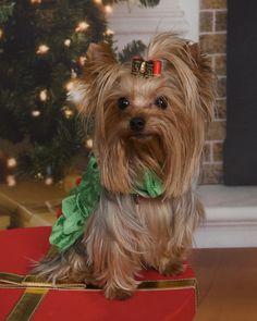 """O Christmas Tree"" Sophia! My baby Yorkie girl!"