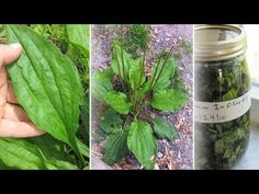 YouTube Herbal Remedies, Natural Remedies, Herbal Medicine, Celery, Asparagus, Weed, Health Tips, Herbalism, Kai