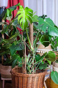 Tolle Zimmerpflanzen udn einen super Urban Jungle kannst auch du haben! Die besten Tipps rund um Pflanzen. Wie düngen? Welches Substrat, als Blumenerde? Schädlinge wie trauermücken, Blattläuse oder Thripse vermeiden und bekämpfen, richtig umtopfen und mehr >>> So werden deine Grünpflanzen wunderschön und wachsen gesund und stark. Ob Monstera, Calathea, Bogenhanf, Hängepflanzen wie Efeutute und mehr... All Things, Diy Projects, Interior, Plants, Decor, Potting Soil, Indoor House Plants, Creative Ideas, Lawn And Garden