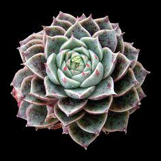 Echeveria x purpusorum-