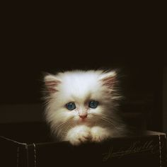 precious fluffy kitten