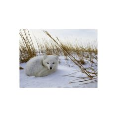 An Arctic Fox Curls up in the Snow for a Nap Photographic Wall Art... (1.480 RUB) ❤ liked on Polyvore featuring home, home decor, wall art, backgrounds, photography wall art, fox home decor, photography posters, fox poster and fox wall art