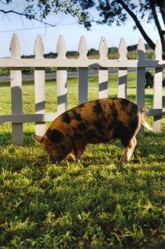 kune kune, the grass fed piggies