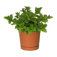 Cyclamen varios colores planta de sombra riego 3 veces - Plantas de sol y sombra ...