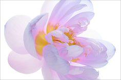 Lotus Flower by Bahman Farzad, via Flickr