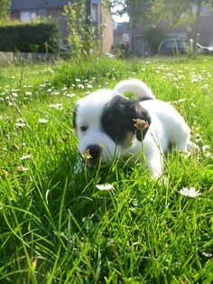 Tommi 4 weeks old. First time Tommi sees a Daisy
