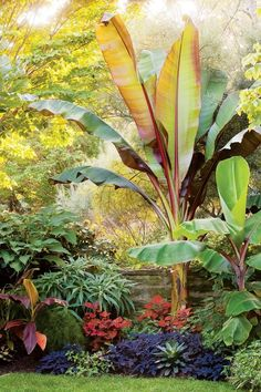 The teacup garden champions leafy tropicals. This medley includes the bananas Musa 'Siam Ruby' and Ensete ventricosum 'Maurelii,' Brugmansia 'Charles Grimaldi,' and Echium candicans 'Select Blue.' The orange-leaf plant is Solenostemon scutellarioides, and the bromeliad in front of the ensete is Vriesea ospinae var. gruberi.