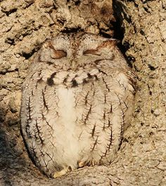 Grey Morph Eastern Screech Owl. Blairstown, NJ by Paulinskill River Photography