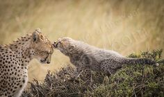 Marco Urso gets a special mention in the One Shot - Extraordinary category for this intimate view of a mother cheetah and her cub