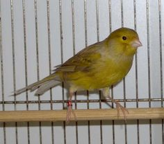 °•.♡°•.•Brown Canary•.•°♡.•°