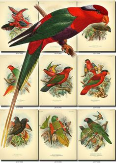 PARROTS-1 Collection of 61 vintage illustrations pictures