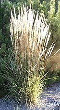 1000 images about ornamental grasses and other tall and for Ornamental grasses 3 ft tall