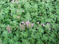 Feel and smell - Perennial Thymus pseudolanuginosus -