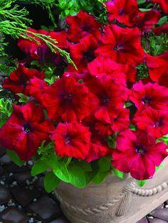 PETUNIA grandiflora STORM RED