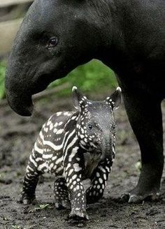 baby tapir. didn't know these existed til I got the tiny zoo app a few years ago