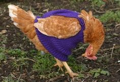 chicken sweaters...and you thought organic chicken was the best option. Try free range in home spun!