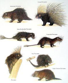 Indonesian Porcupine, Crested Porcupine, Asian Brush-tailed Porcupine, Long-tailed Porcupine, [North American] Porcupine, Tree Porcupine, Upper Amazon Porcupine -    1984 art print
