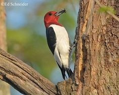 Red-headed Woodpecker (Melanerpes erythrocephalus) - photo from tnwatchablewildlife;  This medium-sized woodpecker is the only woodpecker with a completely red head.  Black wings have large white panels, the chest and rump are white, and the tail is black.  It stores its food to eat later, hiding insects and seeds cracks in wood, under bark, and in fenceposts, hammering acorns into crevices to tightly that other animals cannot remove them.