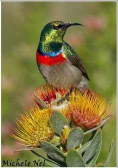 Double-collared Sunbird enjoying the sun at Kirstenbosch