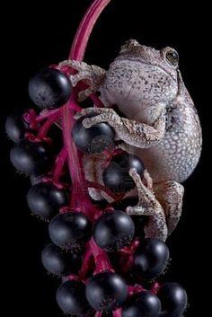 Gray Tree Frog on Poke Berries