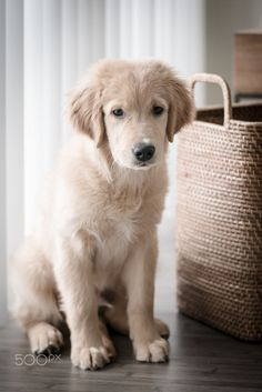 Golden Puppy Golden Retriever Puppy by Martin Osvald Chien Golden Retriever, Golden Retriever Training, Golden Retrievers, Aussie Puppies, Cute Puppies, Dogs And Puppies, Doggies, Fat Dogs, Dog Rules