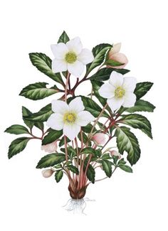 Helleborus niger - Christmas Rose © Sally Crosthwaite SBA