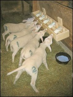 How to Build a Lamb Nursing Bar Project Chickens - Homesteading - Livestock - The Homestead Survival - - Farm