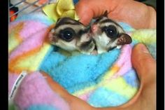 Video: The Mess & Odors of Pet Sugar Gliders Sugar Glider Care, Sugar Gliders, Baby Animals, Cute Animals, Baby Skunks, Sugar Bears, Pet Chickens, My Little Baby, Fur Babies
