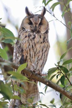 Long-eared owl by Mubi.A