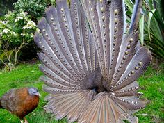 The great Argus pheasant #Argusianus argus flicks its wings into a circle of eyespots.