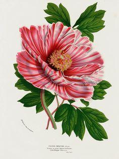 Peony Botanical Illustration
